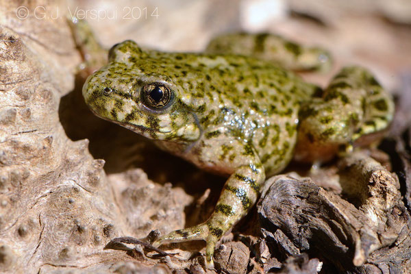 Southern Midwife Toad - Alytes dickhilleni