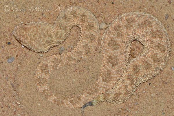 Second Sahara Sand Viper - Cerastes vipera