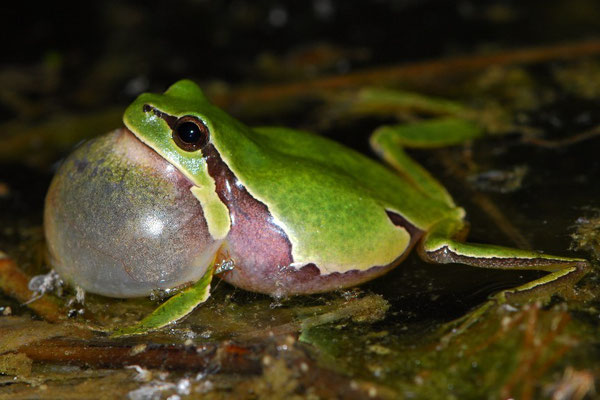 Iberian Tree Frog - Hyla molleri    In Situ