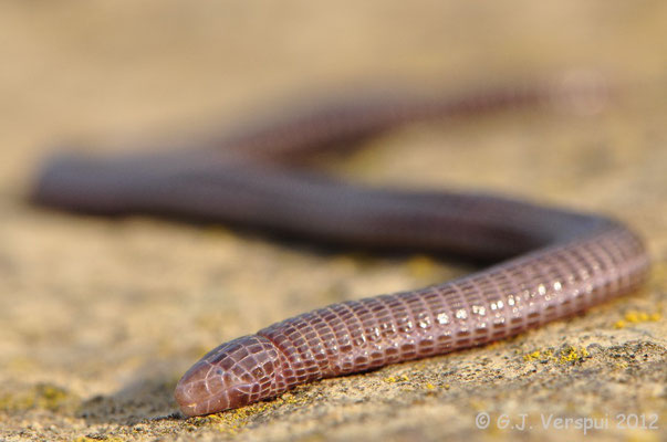 Maria's Worm Lizard - Blanus mariae