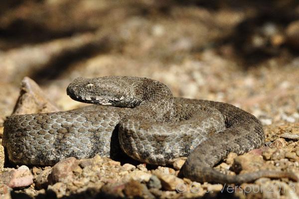Milos Viper - Macrovipera lebetina schweizeri