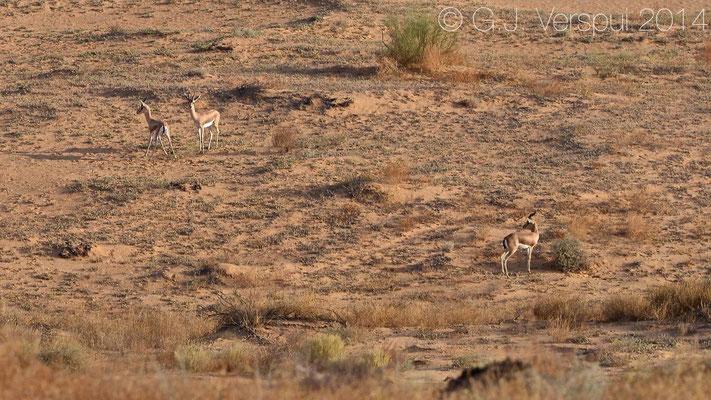 Dorcas gazelle's - Gazella dorcas