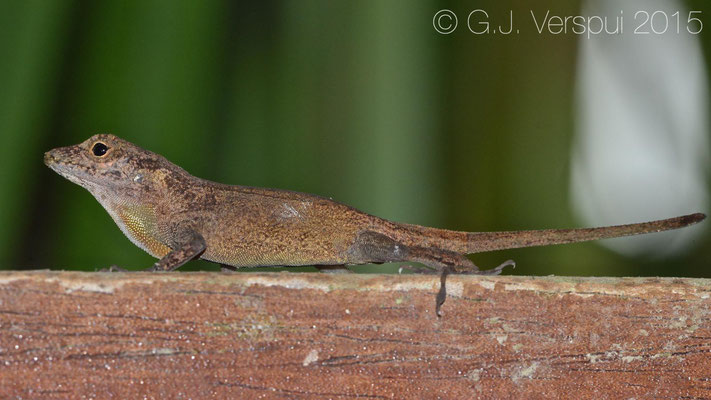 Anolis cristatellus, In Situ