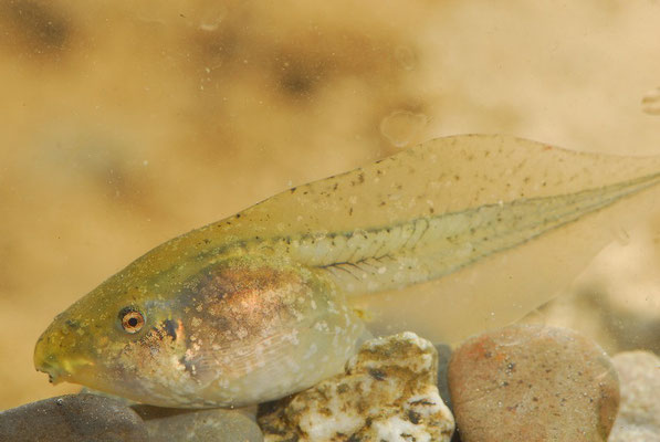 Western Spadefoot Toad - Pelobates cultripes (tadpole)