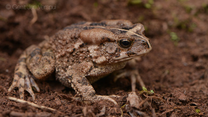 Kisolo Toad - Sclerophrys kisoloensis