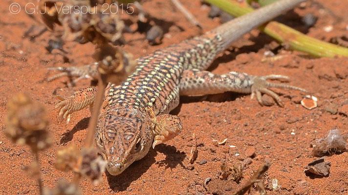 Acanthodactylus pardalis, In Situ