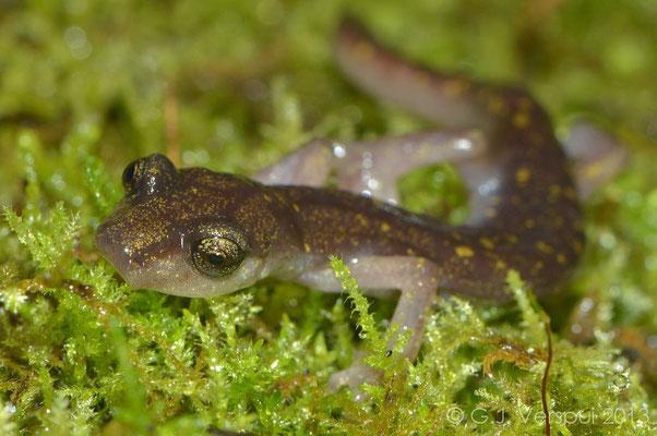 Scented Cave Salamander - Speleomantes imperialis