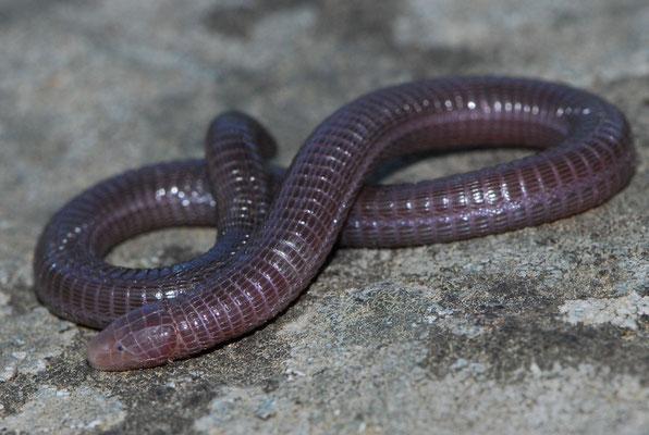 Iberian Worm Lizard - Blanus cinereus