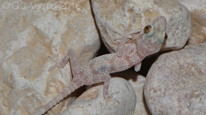 Hemidactylus festivus, In Situ