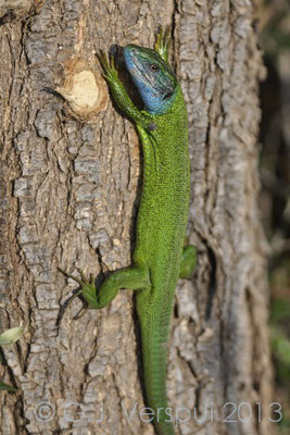 Eastern Green Lizard - Lacerta viridis