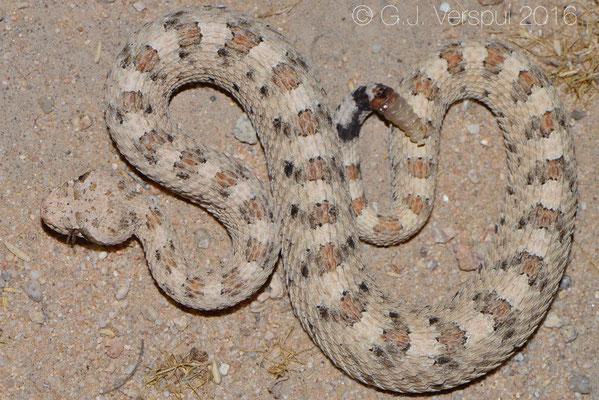 Sidewinder (Crotalus cerastes)