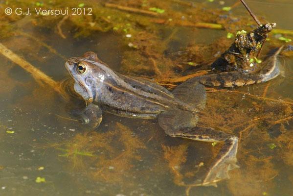 Male Moor Frog - Rana arvalis