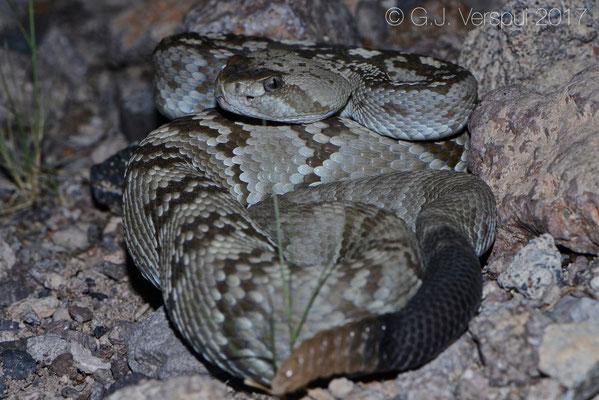 Crotalus ornatus
