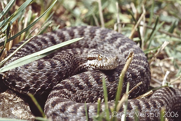 2006, a Vipera seoanei cantabrica, these should be here, but none was found this year.