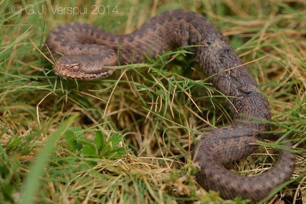 Seoane's Viper - Vipera seoanei seoanei, found by Elin