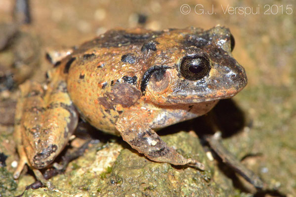 Craugaster megacephalus