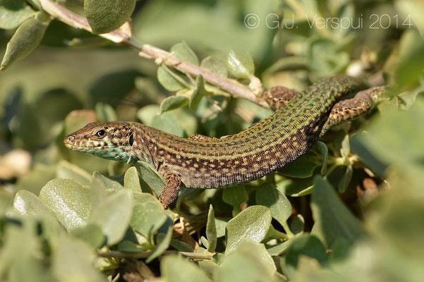 Ibiza Wall Lizard - Podarcis pityusensis