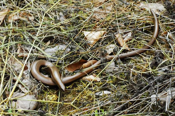 Slow Worm - Anguis fragilis    In Situ