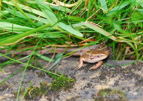 Viviparous Lizard - Zootoca vivipara    In Situ