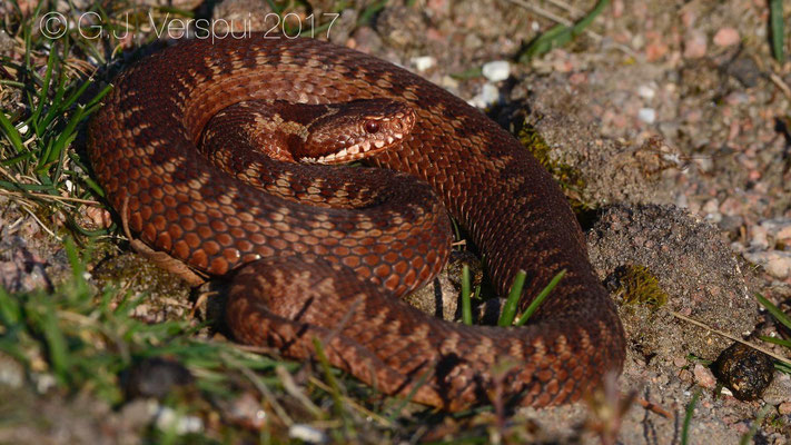 Subadult female Adder - Vipera berus