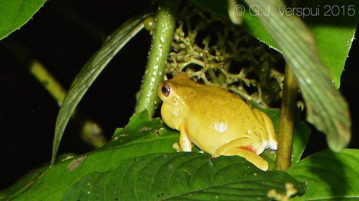 Tlalocohyla loquax, In Situ