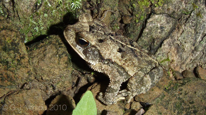 Bufo valliceps    In Situ