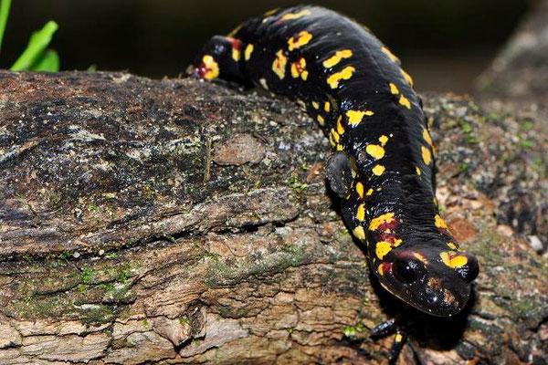 Salamandra salamandra morenica, Huelva, Spain, December 2012