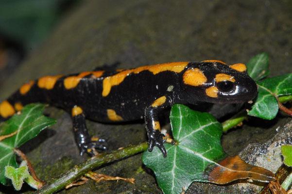 Salamandra salamandra gigliolii, Liguria, Italy, July 2012