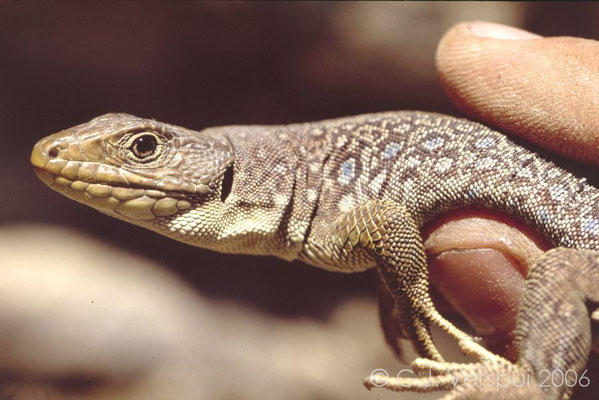 Occelated Lizard - Timon lepidus
