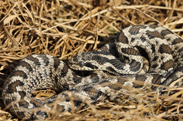 Four-lined Snake - Elaphe quatuorlineata (sub adult)