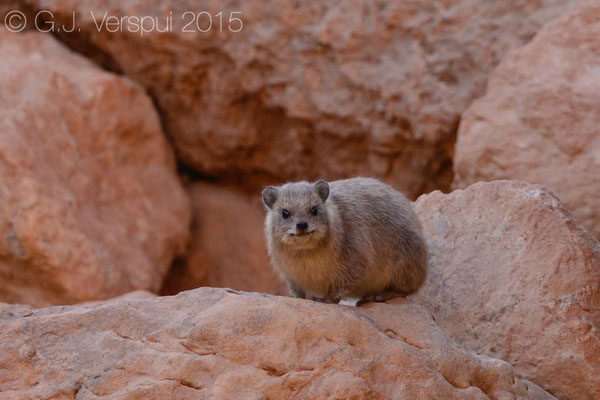 Rock Hyraxes (Procavia capensis)
