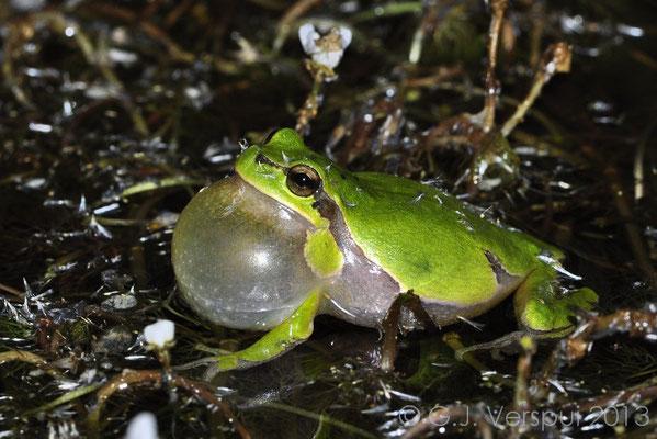 Eastern Tree Frog - Hyla orientalis   In Situ