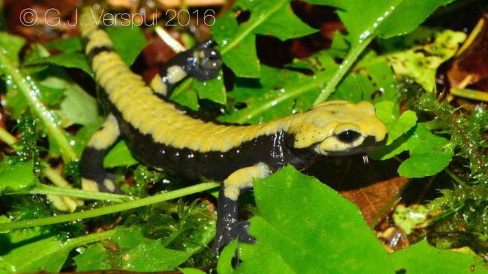 Second 'golden' Alpine Salamander - Salamandra atra aurorae