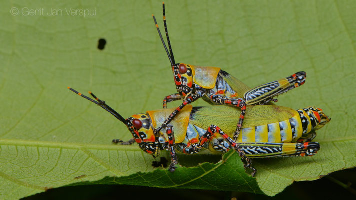 Variegated Grasshoppers - Zonocerus variegatus
