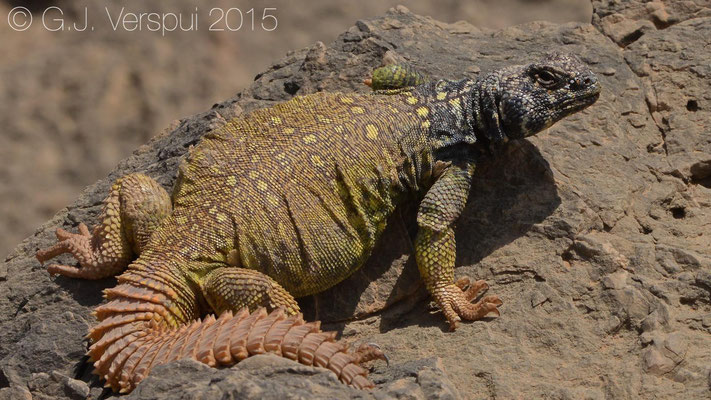 Uromastyx benti, In Situ, same one as the first, but 1 hour later.