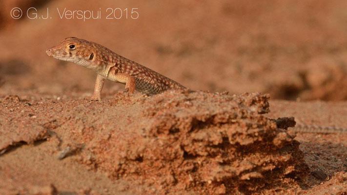 Acanthodactylus schmidti, In Situ