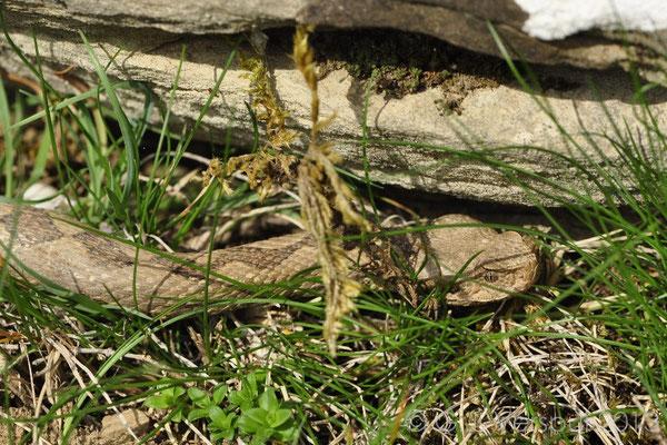 Nose-horned Viper - Vipera ammodytes   In Situ