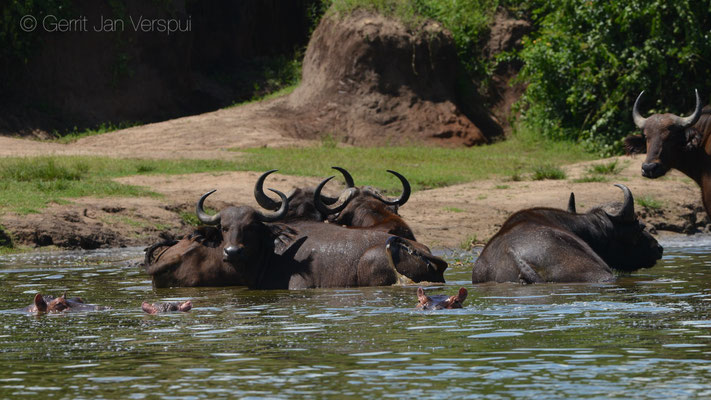 African Buffalo's - Syncerus caffer