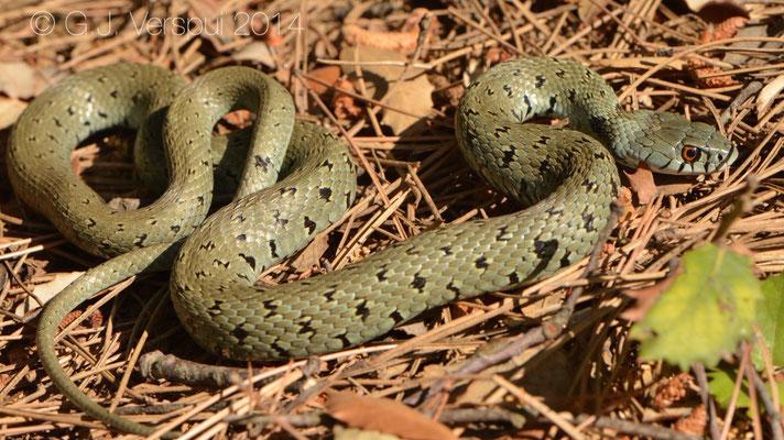 Grass Snake - Natrix natrix astreptophora