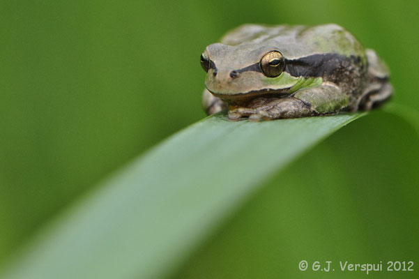Stripeless Tree Frog - Hyla meridionalis