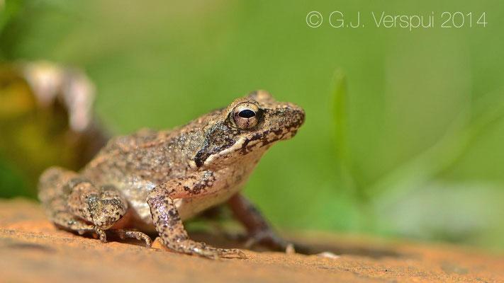 Italian Stream Frog - Rana italica