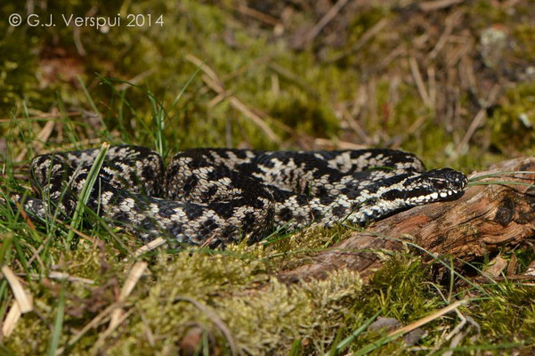 Freshly shedded male Adder - Vipera berus