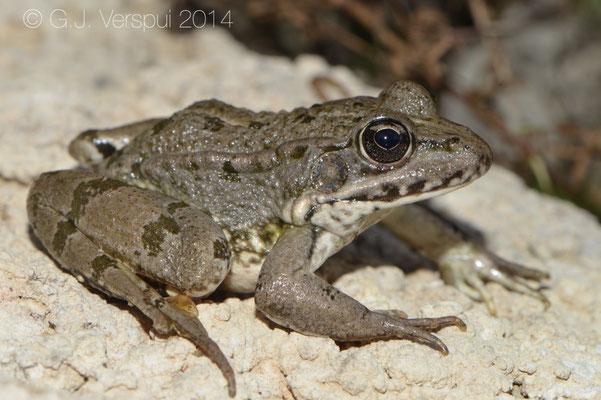 Graf's Hybrid Frog - Pelophylax kl. grafi
