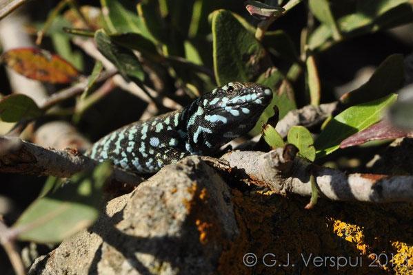 Milos Wall Lizard - Podarcis milensis (male)