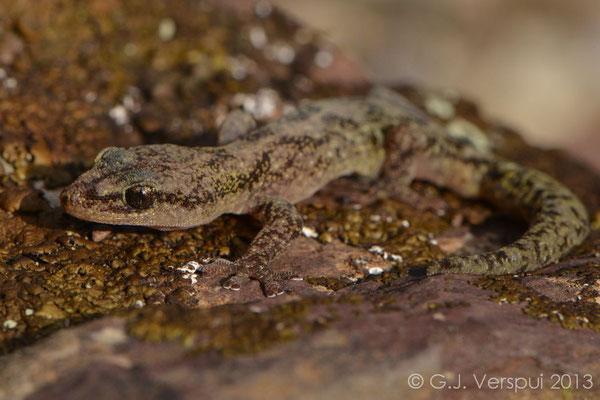 European leaf-toed gekko - Euleptes europaea