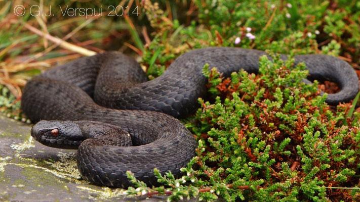 Seoane's Viper - Vipera seoanei seoanei, 4th melanistic