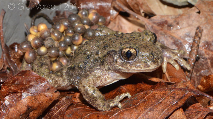 Common Midwife Toad - Alytes obstetricans