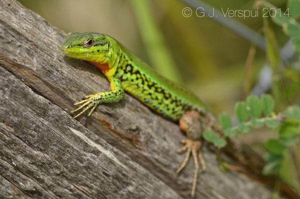 Sicilian Wall Lizard - Podarcis waglerianus