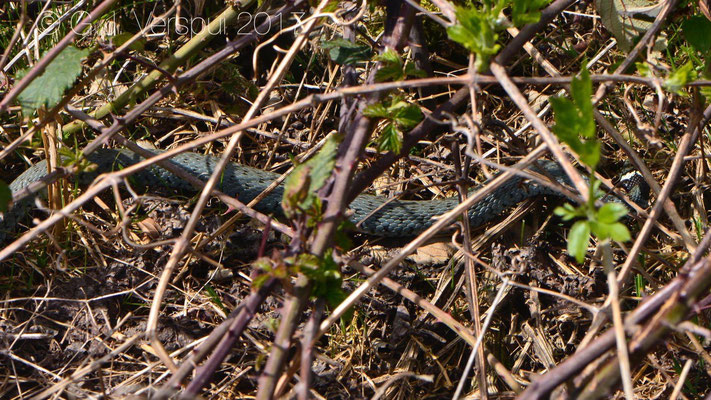 Grass Snake that was a bit blue, in situ