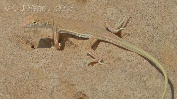 Egyptian Fringe-Fingered Lizard - Acanthodactylus aegyptius    In Situ